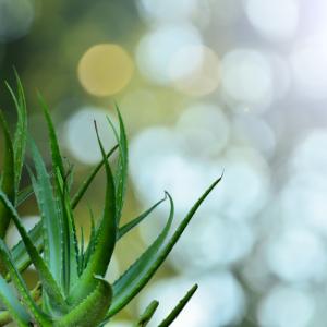 5 motivos por los que utilizar aloe vera en Otoño